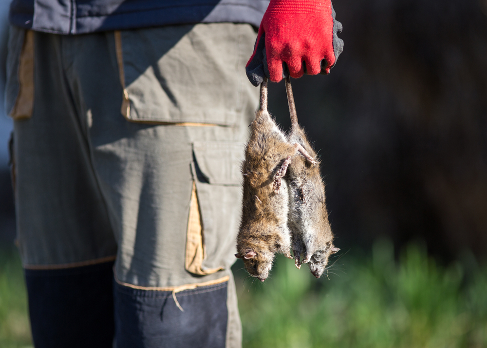Les meilleures solutions pour dératiser les rats sur Paris